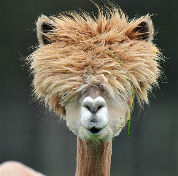 alpaca with fluffy hair