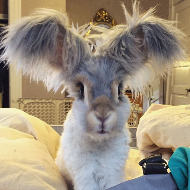 wally the angora rabbit