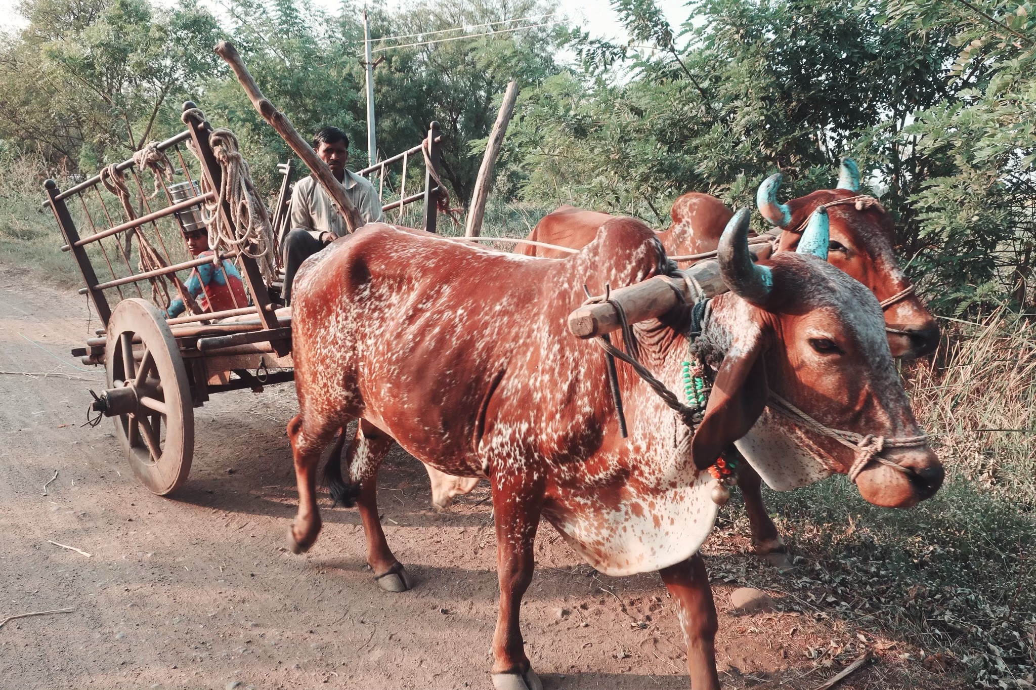 bull cart on a farm in india